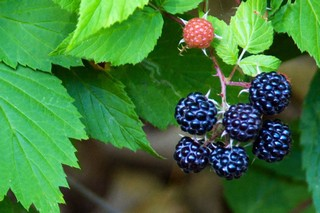 Black_Berries_01.jpg