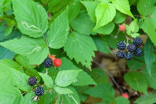 Black_Berries_03.jpg