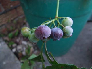 Blue_Berries_01.JPG